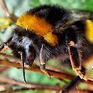 Buff Tailed Bumble Bee by Sandra Cockayne