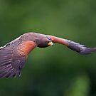 Harris Hawk in Flight by Daniel  Parent