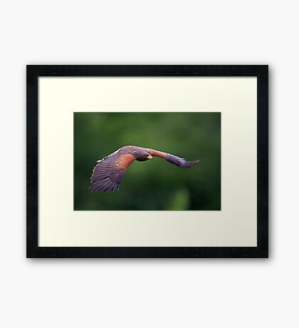 Harris Hawk in Flight Framed Print