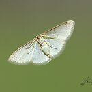 (Not  a ) Yucca Moth but a Geometridae by DigitallyStill