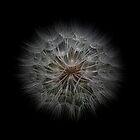 Tragopogon Seedhead by Len Bomba