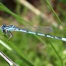 DameselFly ~ Familiar Bluet (Male) by Kimberly Chadwick