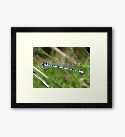 DameselFly ~ Familiar Bluet (Male) Framed Print