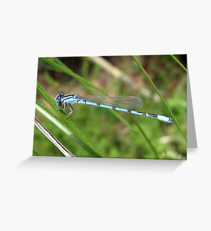 DameselFly ~ Familiar Bluet (Male) Greeting Card