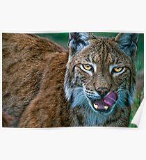 Lynx Licks Lips Poster