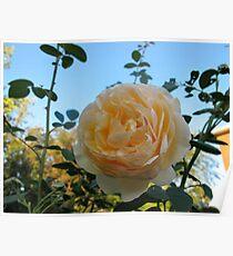 Apricot Blush Rose Poster