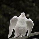 Hungarian Dove by Katelyn Stephenson