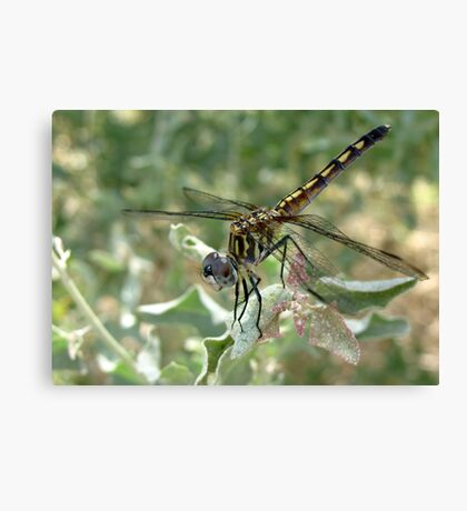 Dragonfly ~ Blue Dasher (Female) Canvas Print
