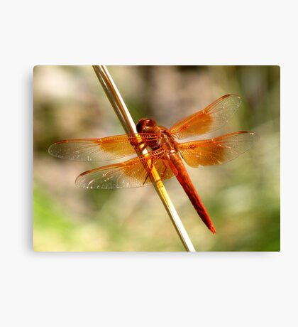Dragonfly ~ Flame Skimmer (Male) Canvas Print