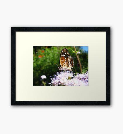 Butterfly ~ Texan Crescent Framed Print