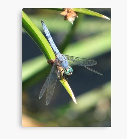 Dragonfly ~ Blue Dasher (Male) Canvas Print