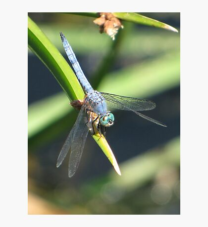 Dragonfly ~ Blue Dasher (Male) Photographic Print