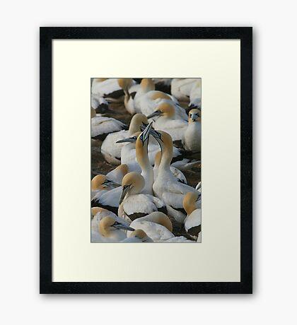 Cape Gannets Framed Print