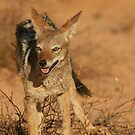 Black-backed Jackal by naturalnomad