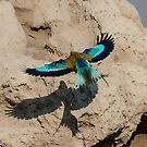 Lilac breasted Roller in Flight by Christina Backus