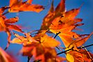 Fire Acer against a blue sky by Andy Freer