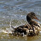 Ducks have their moments too! by Rose Gallik