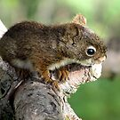Baby Squirrel by Rose Gallik