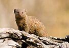 Dwarf Mongoose (Helogale parvula) near Savute, Botswana by Neville Jones