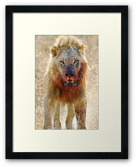 Majingilane - Male Lion - Hyena Intimidation by Michael  Moss