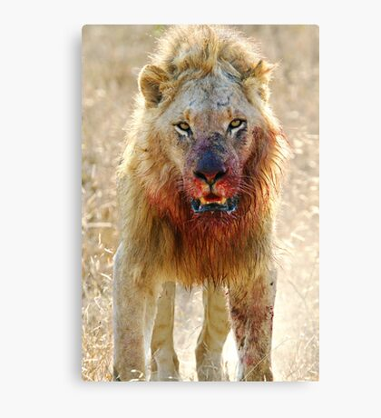 Majingilane - Male Lion - Hyena Intimidation Canvas Print