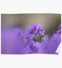 A meadow of cranesbill Poster