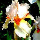 Peach Iris Flower by John Hare