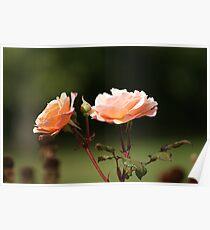 ROSA - Hybrid tea rose Poster