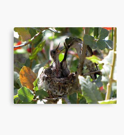 Costa's Hummingbird ~ Growing Still..... Canvas Print