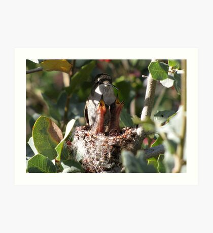 Costa's Hummingbird ~ No rest for the weary..... Art Print