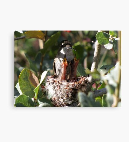 Costa's Hummingbird ~ No rest for the weary..... Canvas Print