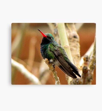 Broad-billed Hummingbird ~ Male Canvas Print