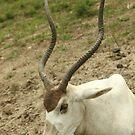 Horned deer by vasu