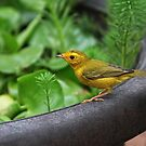 Yellow finch by zzsuzsa