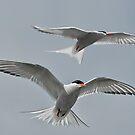 Arctic Terns by Brian Tarr