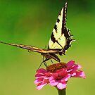 Butterfly on a zinnia flower by Chrissy Ferguson