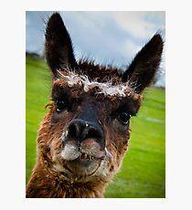Wacky Alpaca Photographic Print