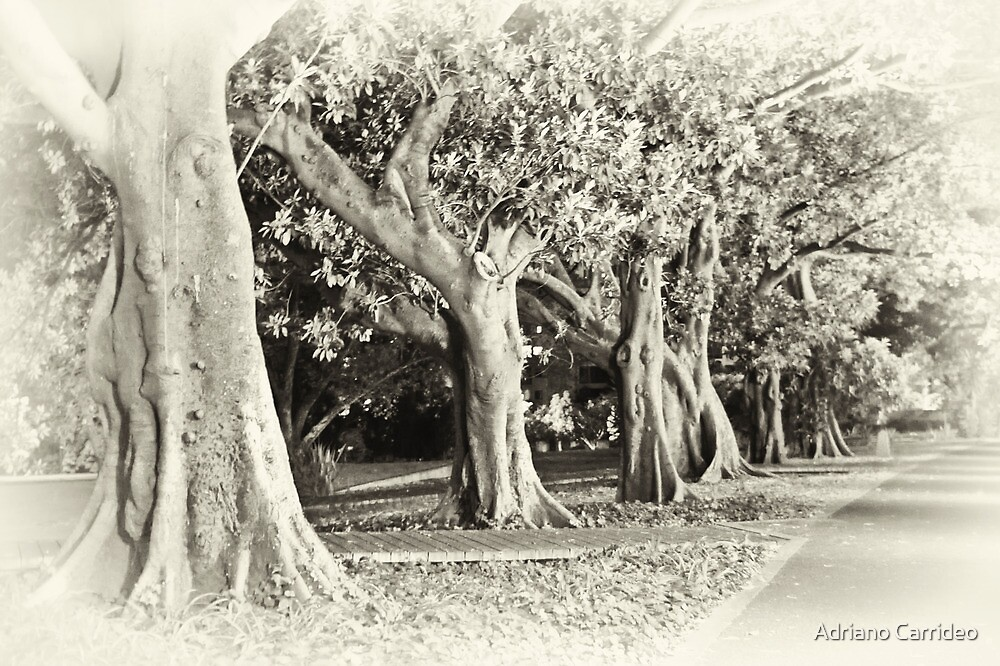 Fig tree lane by Adriano Carrideo