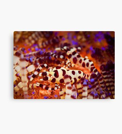 Coleman's Shrimp - Lembeh Strait  Canvas Print