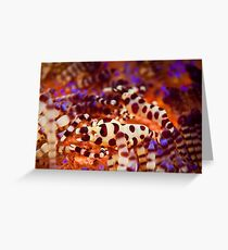 Coleman's Shrimp - Lembeh Strait  Greeting Card