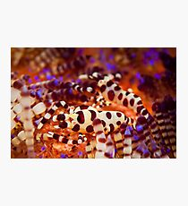 Coleman's Shrimp - Lembeh Strait  Photographic Print