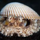 Coconut octopus in white clam shell - Lembeh Strait  by Stephen Colquitt