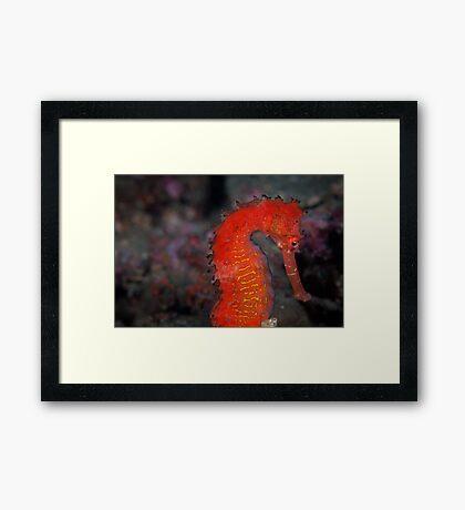 Tropical seahorse - Lembeh Strait  Framed Print