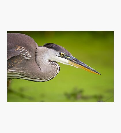 Blue Heron Portrait Photographic Print