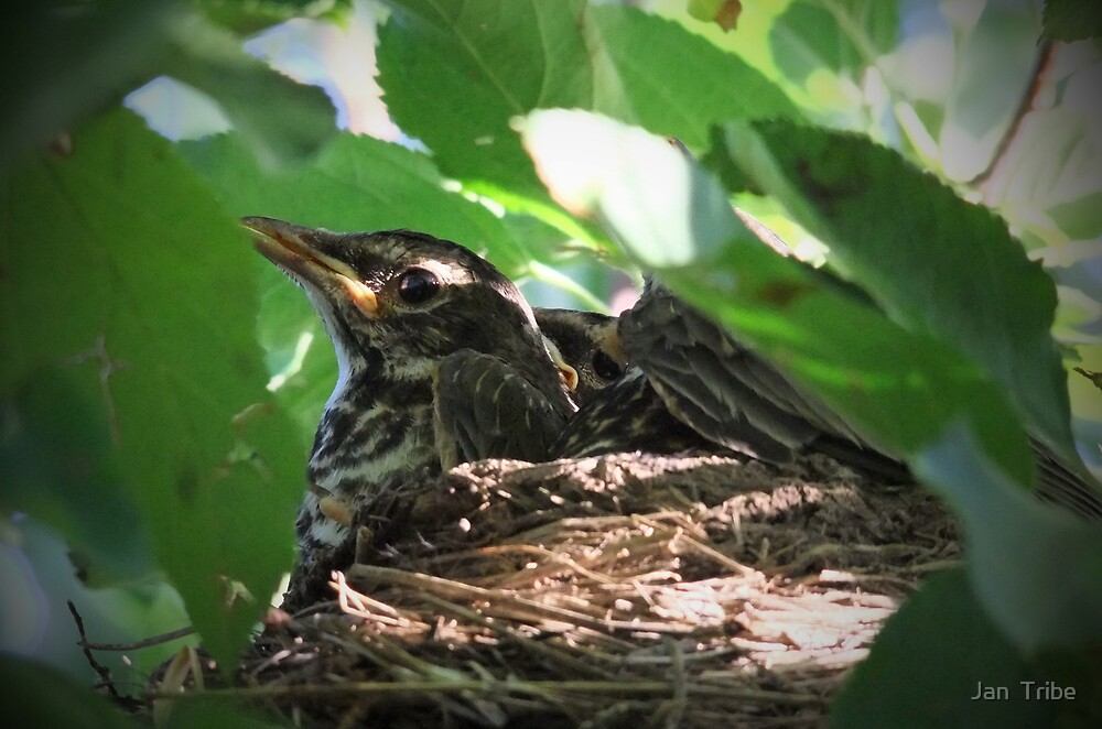 Crowded Nest ~ Baby Robins by Jan  Tribe