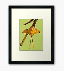 Comet Moth Framed Print