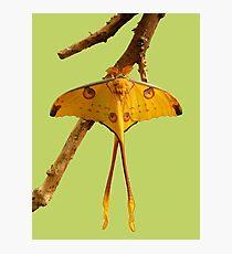 Comet Moth Photographic Print