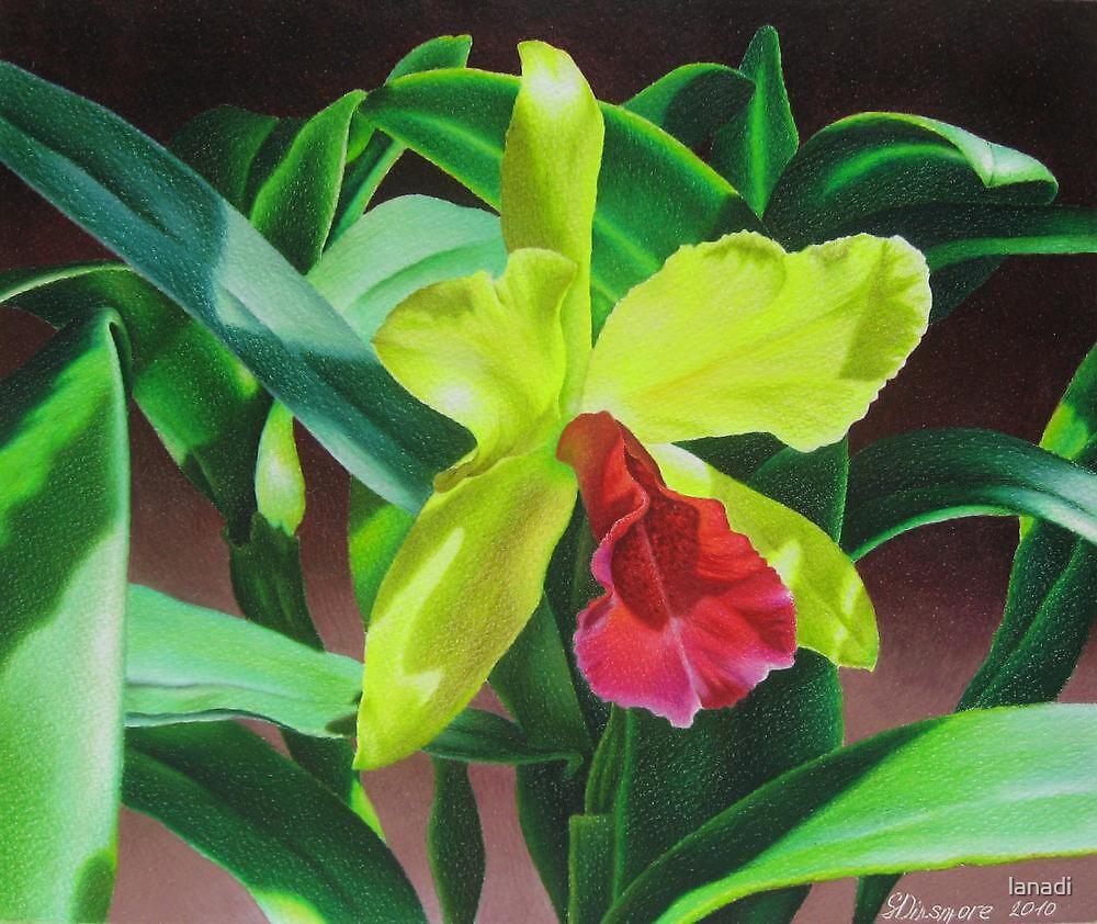 u0026quot cattleya orchid