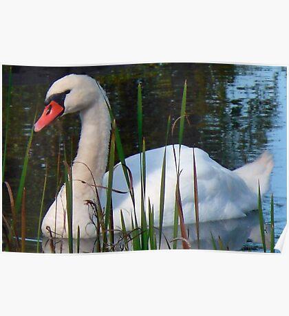 Beautiful Day Beautiful Swan Poster