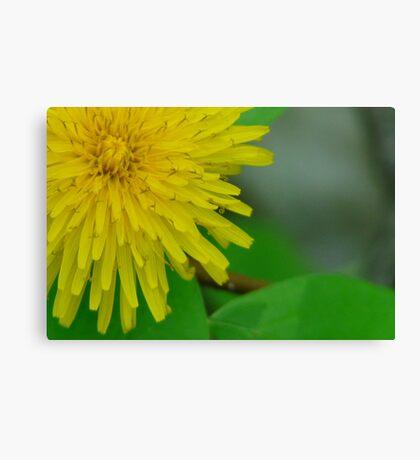 Pretty in Yellow,Dandilion Canvas Print
